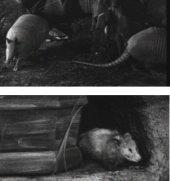 Gürteltiere und Opossums